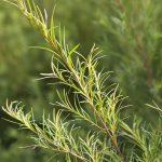 Tea_Tree1-400x300